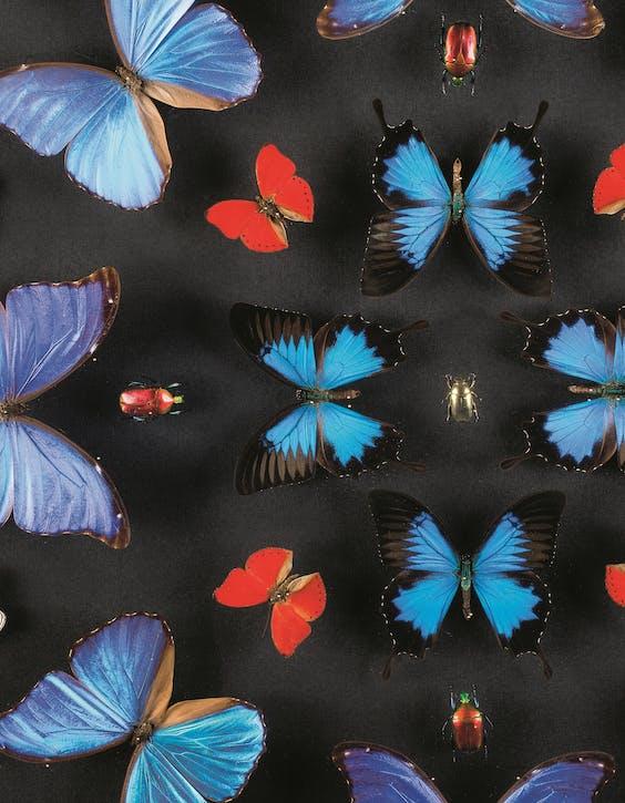Morpho menelaus: alleen al de naam van de vlindersoort verleidde veel patriciërs.