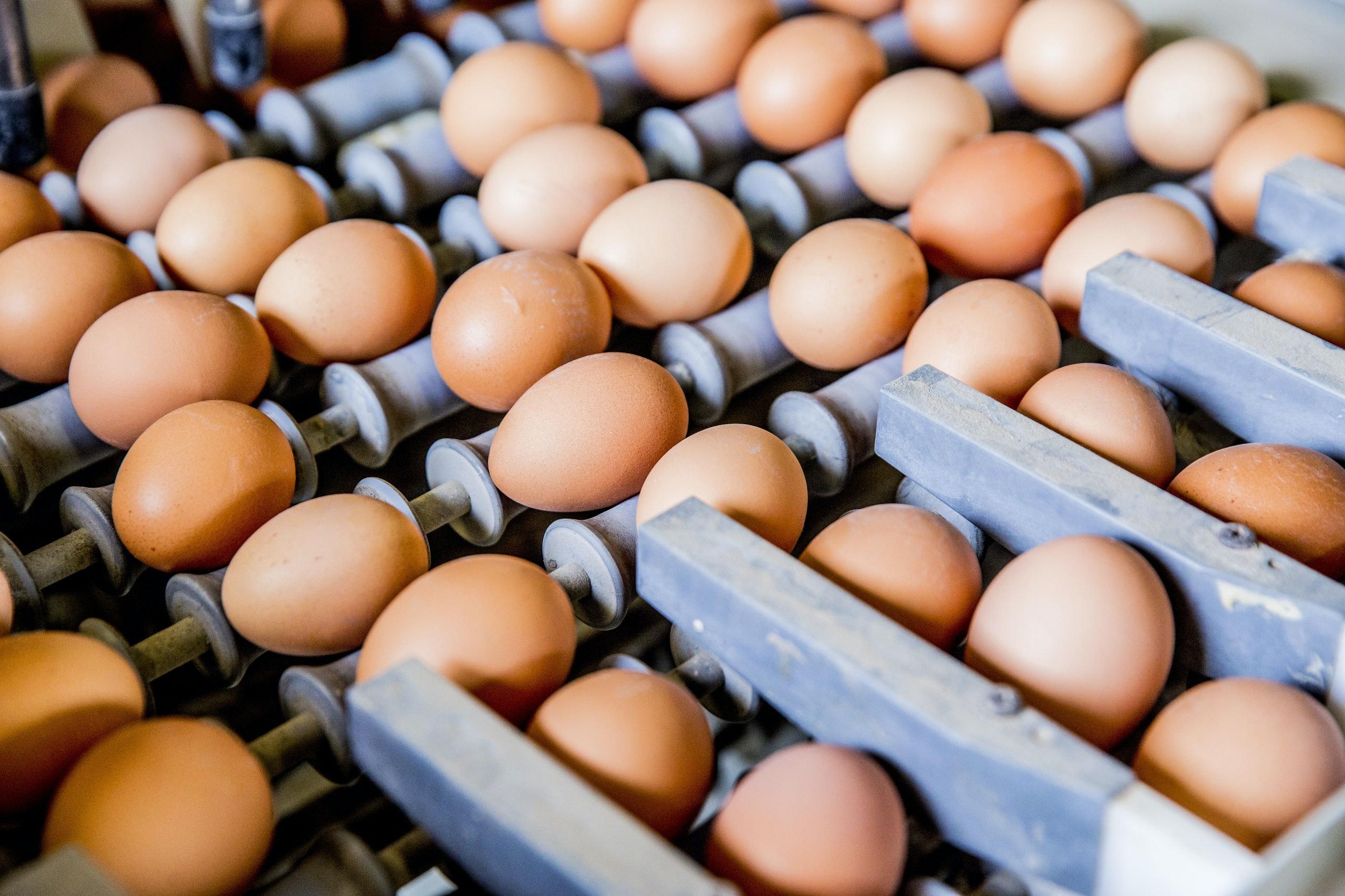 Giftige eieren op een pluimveeboerderij. Foto: Rob Voss