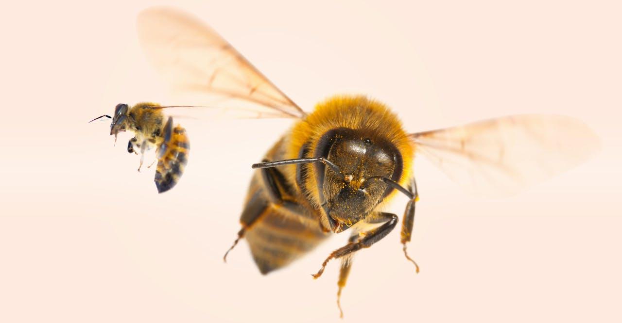 Bijen zorgen voor bestuiving; hoe meer verschillende bijen, hoe beter de bestuiving geschiedt