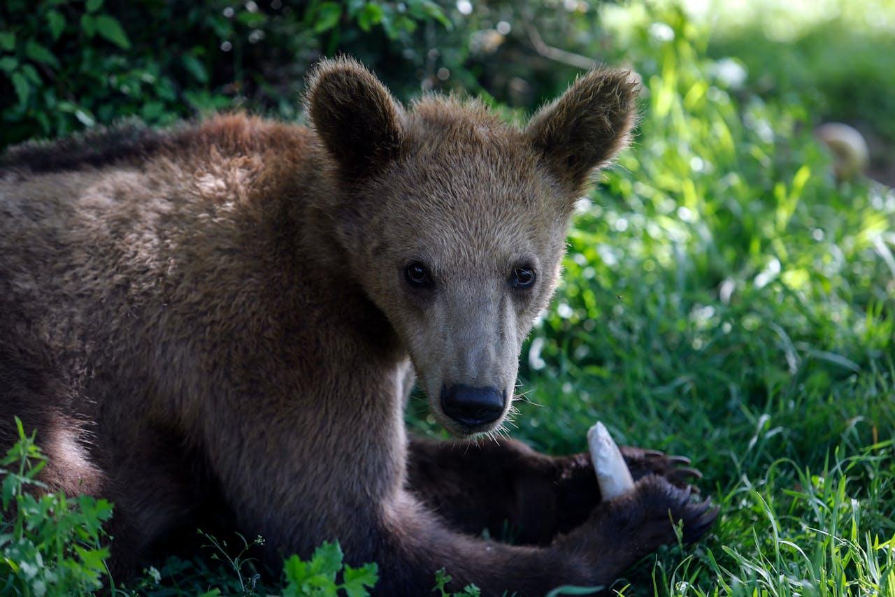 Een Europese bruine beer.