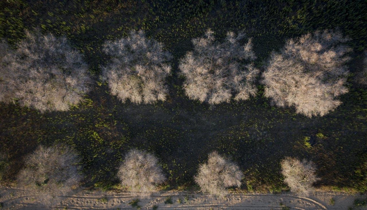 Door xylella aangetaste olijfbomen van boven gezien in de buurt van de Zuid-Italiaanse stad Lecce.