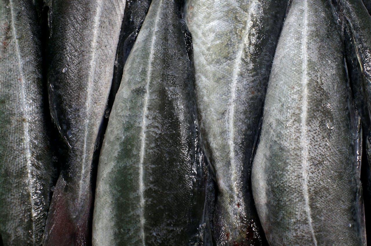 Koolvis (Pollachius virens), gevangen door Deense vissers in Britse wateren, op de visafslag in Thyboron in Jutland.