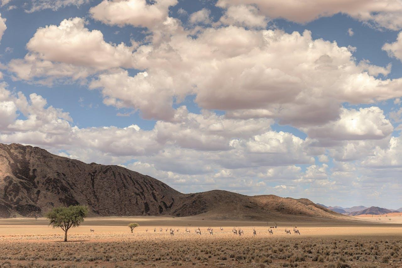 Door de grazende oryxen is goed zichtbaar hoe groot de heuvels zijn.