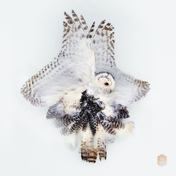 'Unknown Pose by Snowy Owl', 2016;