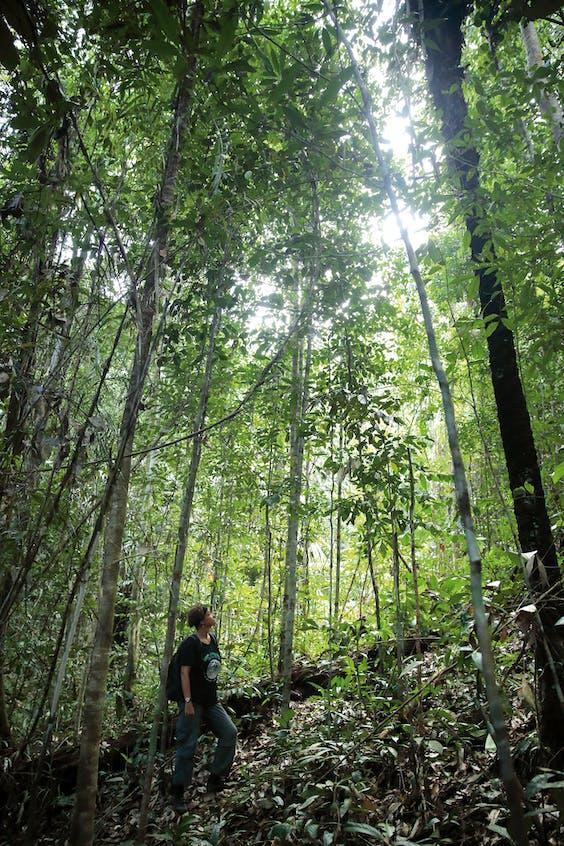 Het laaglandbos in Borneo wordt bedreigd door oliepalmplantages en mijnbouw.