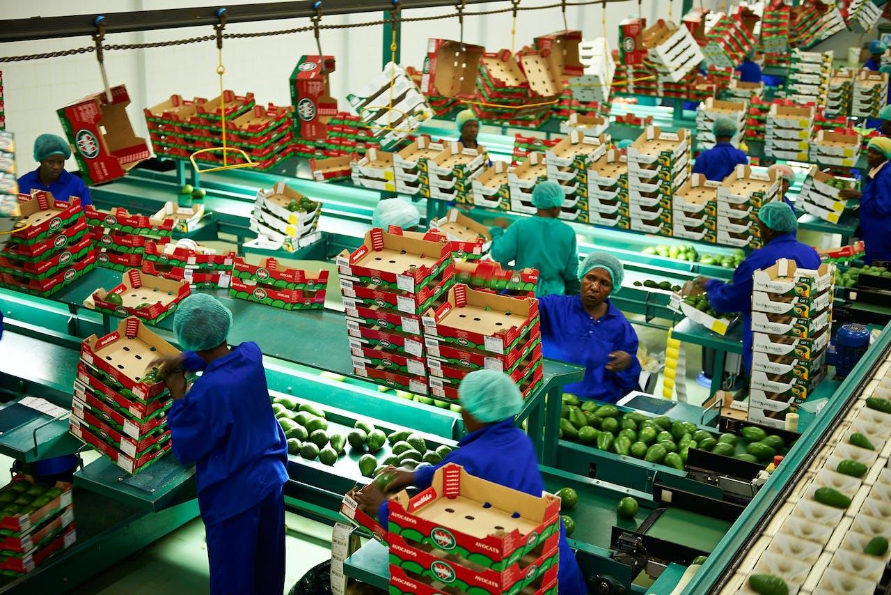 Werknemers van fruitleverancier Westfalia in Zuid-Afrika pakken avocado's in.