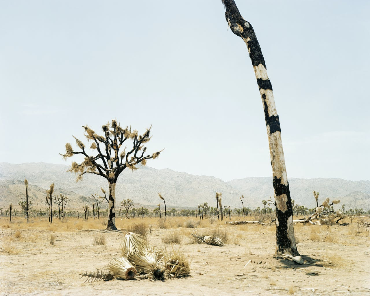 'Joshua Tree #2 (CA)', 2002. Joshua Tree is ook de naam van een nationaal park en een plaats in Californië.