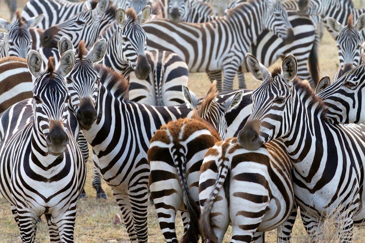 Zebra's in Tanzania.