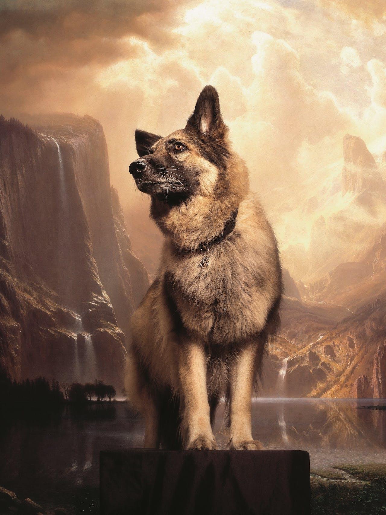 De shiloh shepherd is een groot soort herdershond, gefokt in de Verenigde Staten.